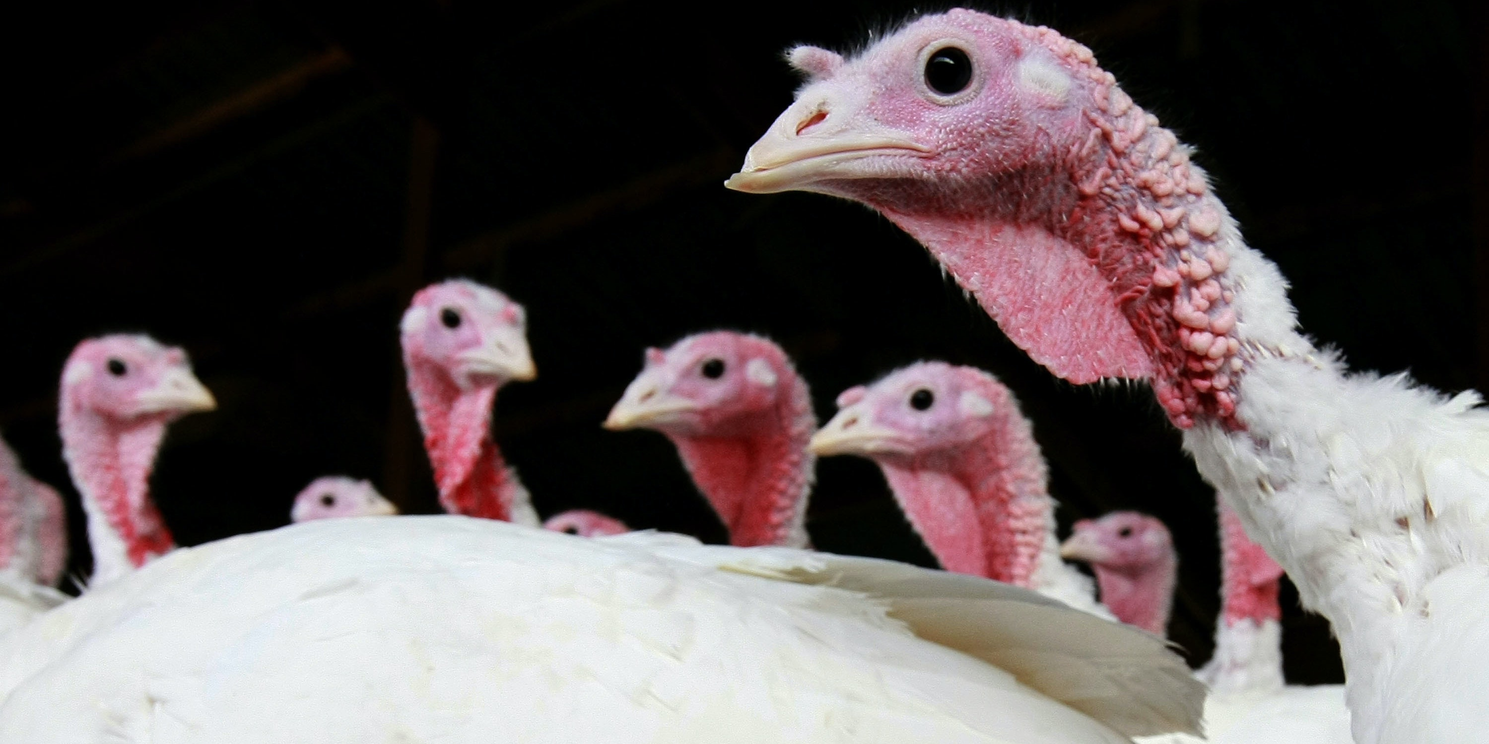SONOMA, CA - NOVEMBER 24:  With less than one week before Thanksgiving, turkeys stand in a barn at the Willie Bird Turkey Farm November 24, 2008 in Sonoma, California. An estimated forty-five million turkeys are cooked and eaten during annual Thanksgiving meals in the United States.  (Photo by Justin Sullivan/Getty Images)