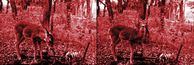 A deer eating a human corpse has just been captured on camera for the first time.