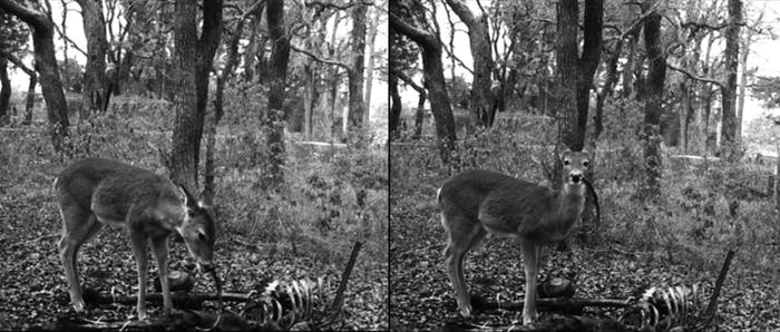 This deer (or these deer) was snapped hanging out by a human skeleton and gnawing on rib bones.