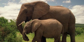 Elephants, genomes