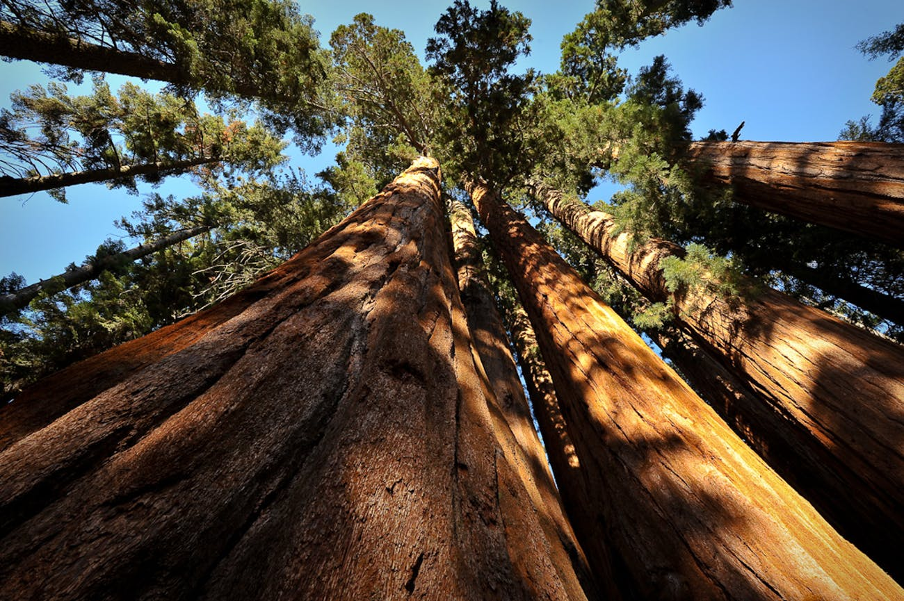 Giant Sequoias, along the Crescent Meadow Trail