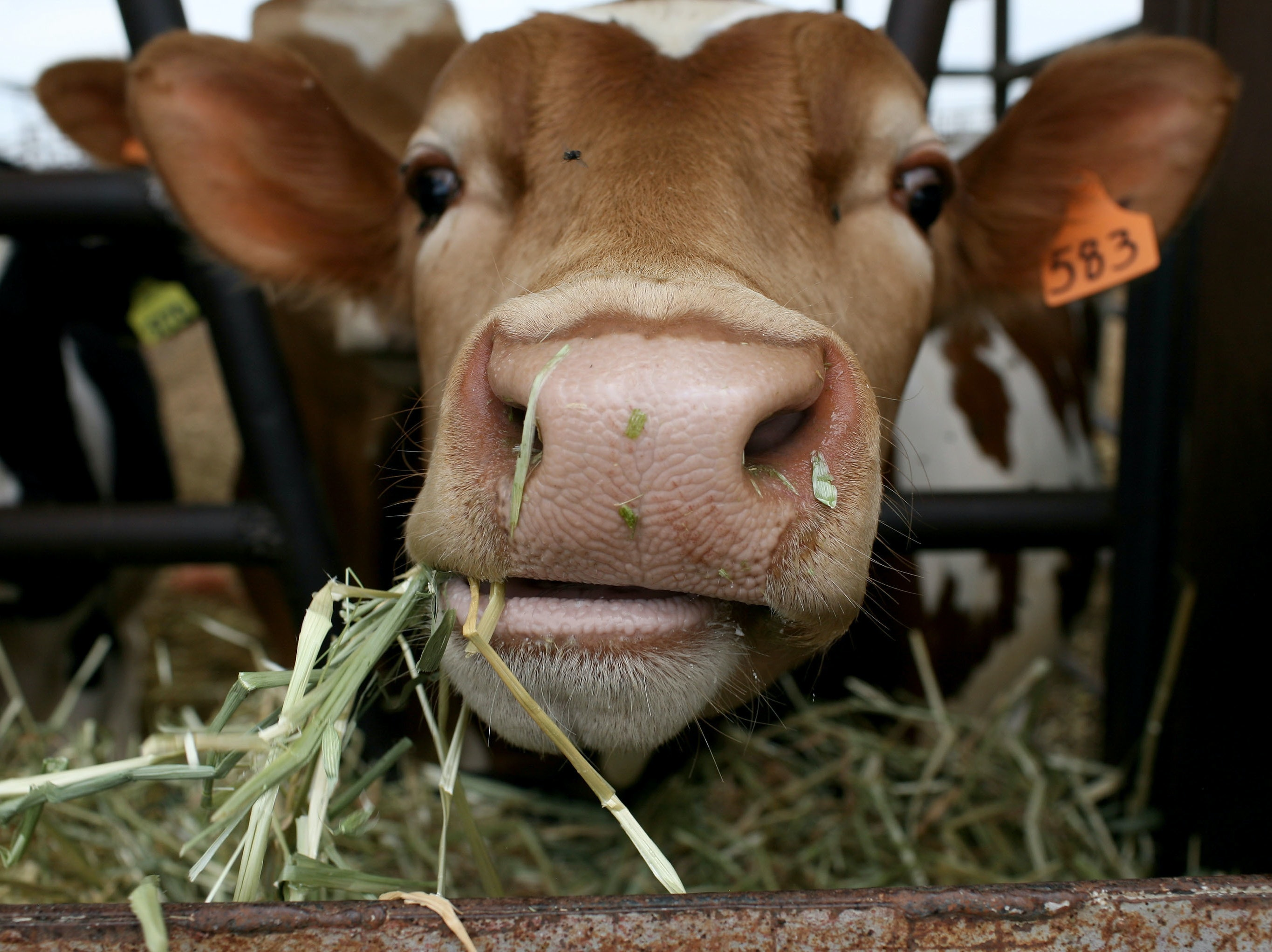 Seaweed could reduce the methane content in cow farts.