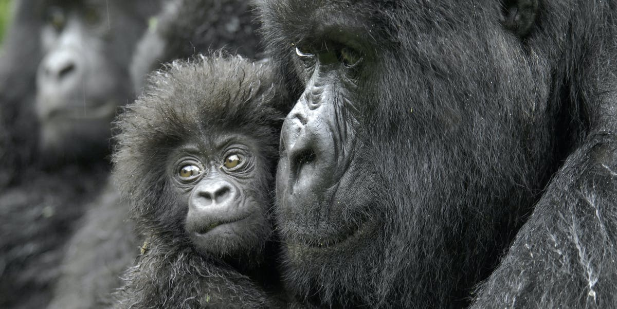 A mother gorilla holds four-month-old Kabila, named for the president of the Democratic Republic of the Congo.