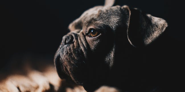 United Airlines ias facing backlash over the death of a French bulldog puppy