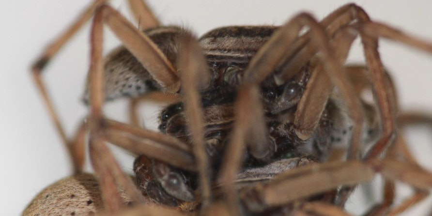 """Female spiders have the """"anatomical potential"""" to mate with two males at once."""