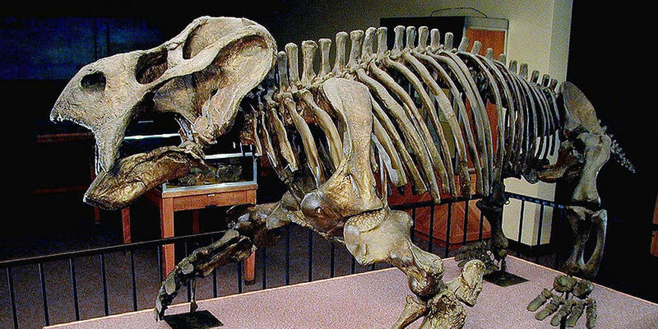 Placerias fossils, dinosaur