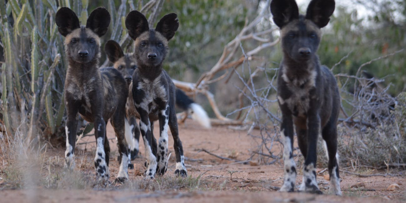 African wild dogs vote by sneezing.