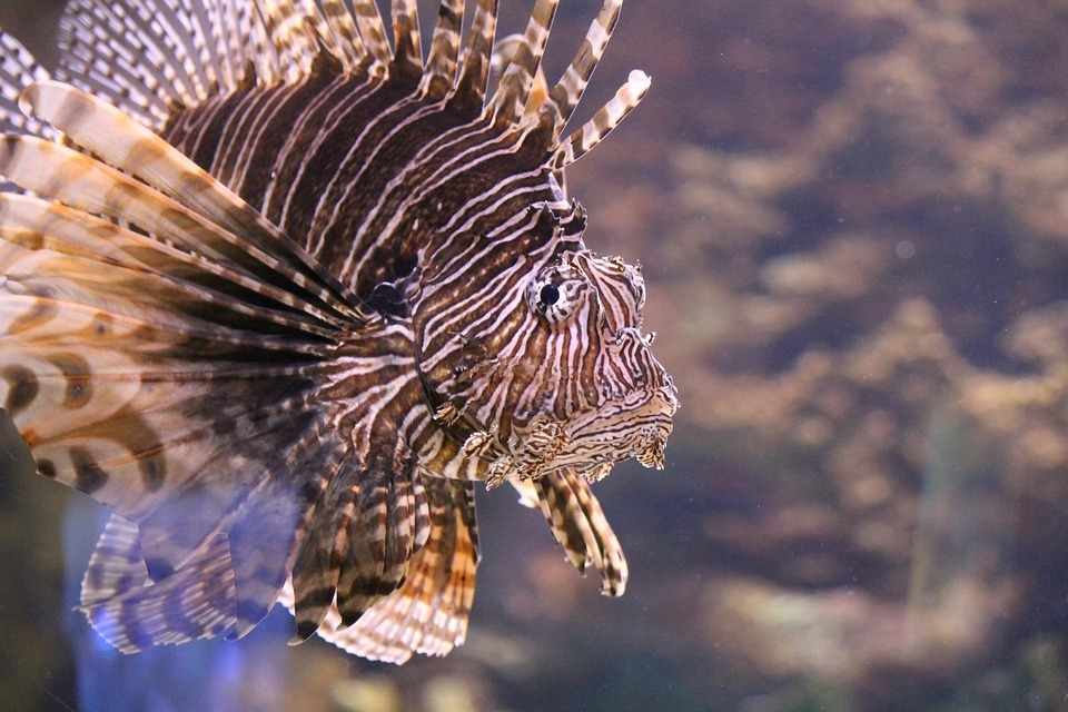 Lionfish are pretty but they also sort of suck.