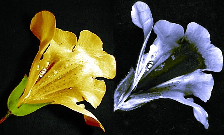 The Mimulus flower as humans (left) and bees (right) see it.