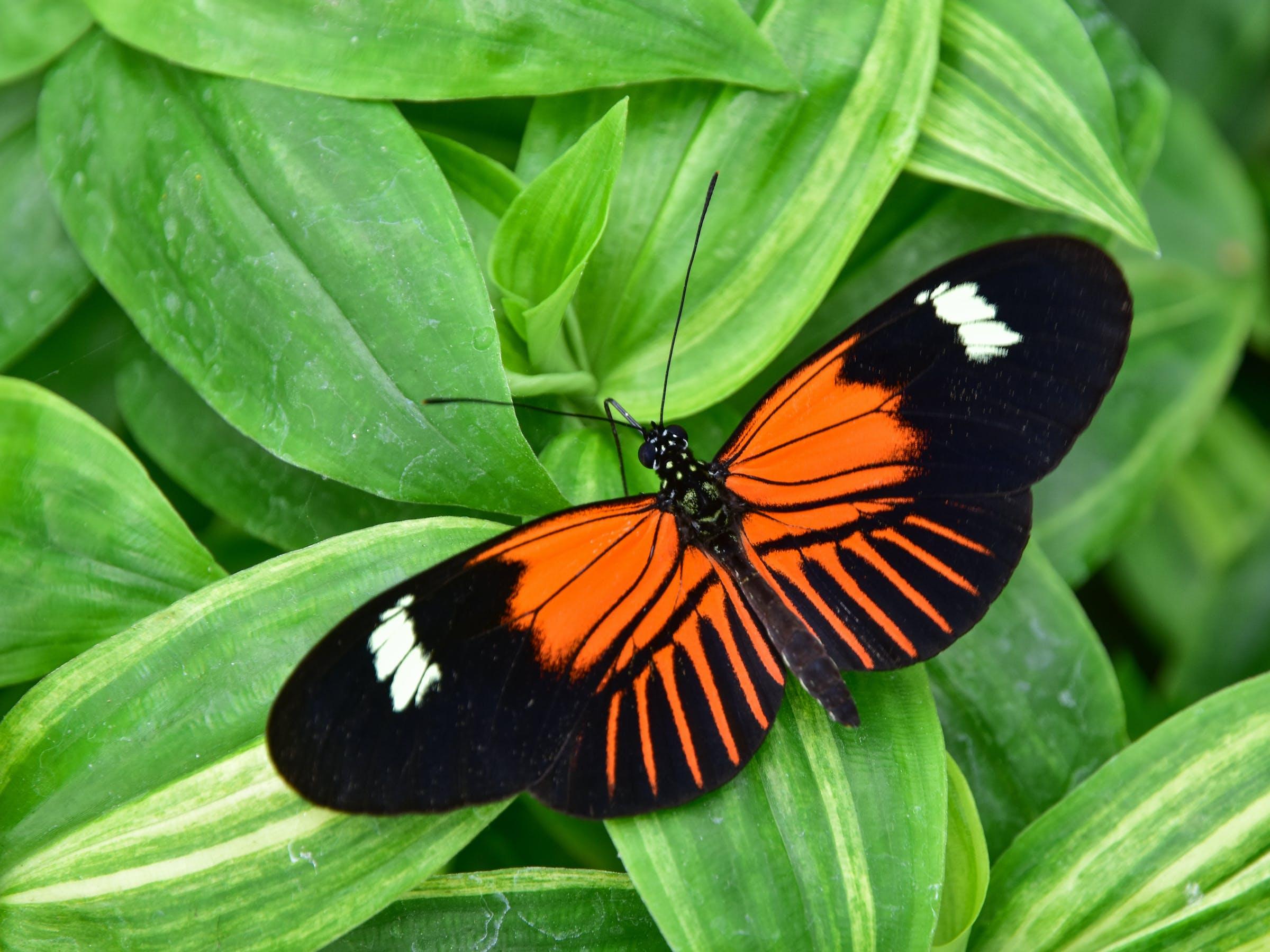 Heliconius melpomene, postman butterfly