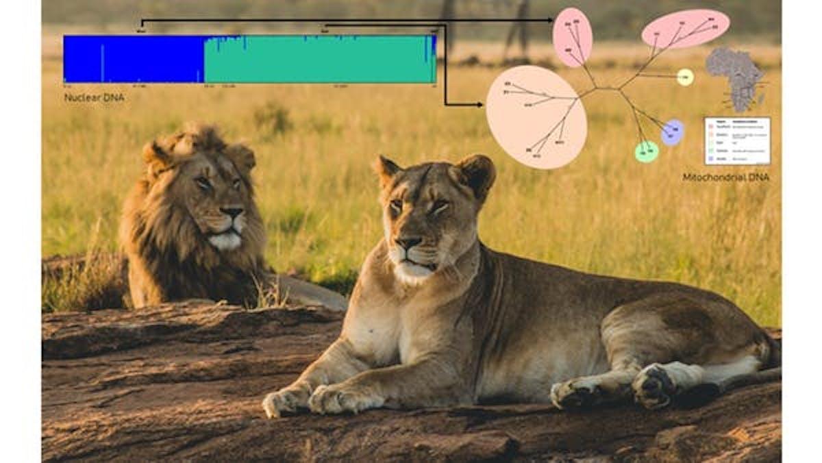 Zambian lions