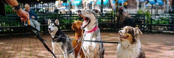 dogs leash walking