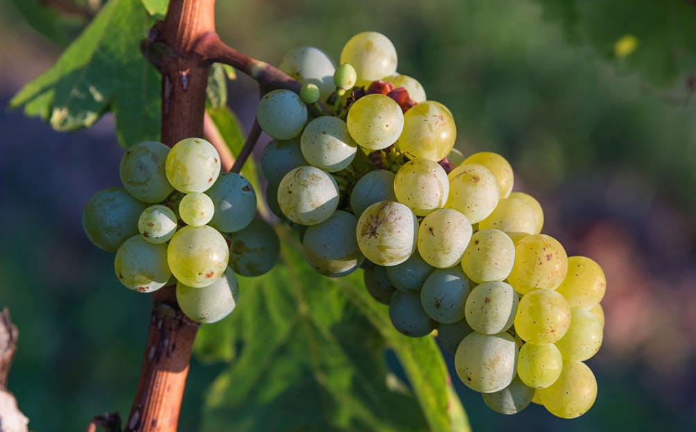 chemical analysis on winemaking Copper age people living in sicily, italy, were making wine nearly 4,500 years ago, according to a team of archaeologists led by dr davide tanasi of the university of south florida.