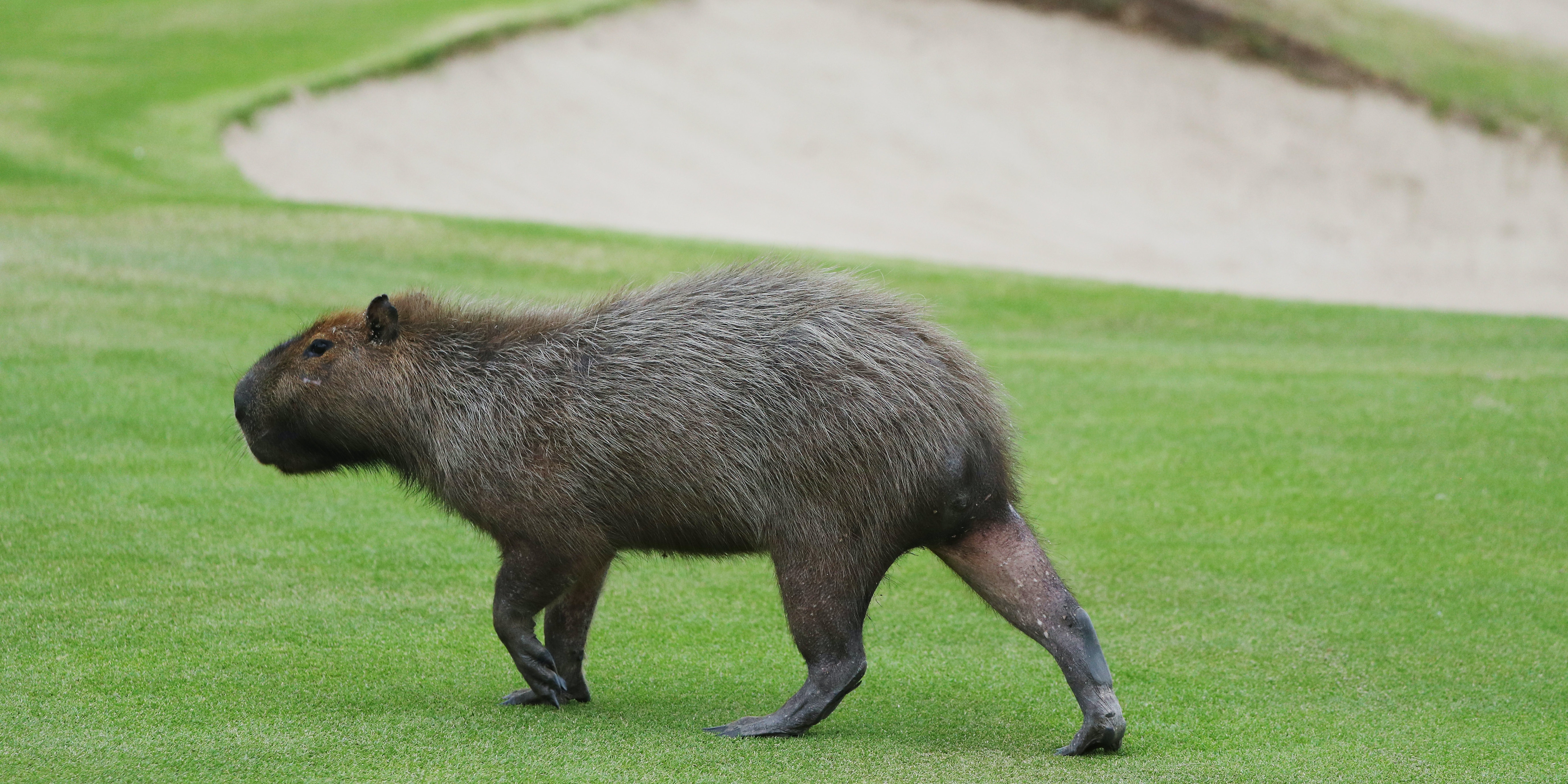 RIO DE JANEIRO, BRAZIL - AUGUST 08:  A capybara crosses a fairway during a practice round during Day 3 of the Rio 2016 Olympic Games at Olympic Golf Course on August 8, 2016 in Rio de Janeiro, Brazil.  (Photo by Scott Halleran/Getty Images)