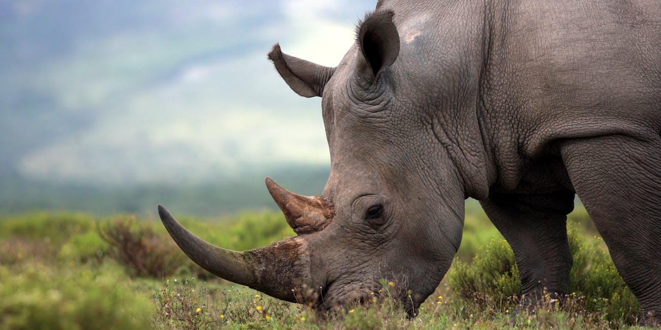 Rhinoceros are being hunted into extinction for their horns, but scientists think they may have found a way to help.