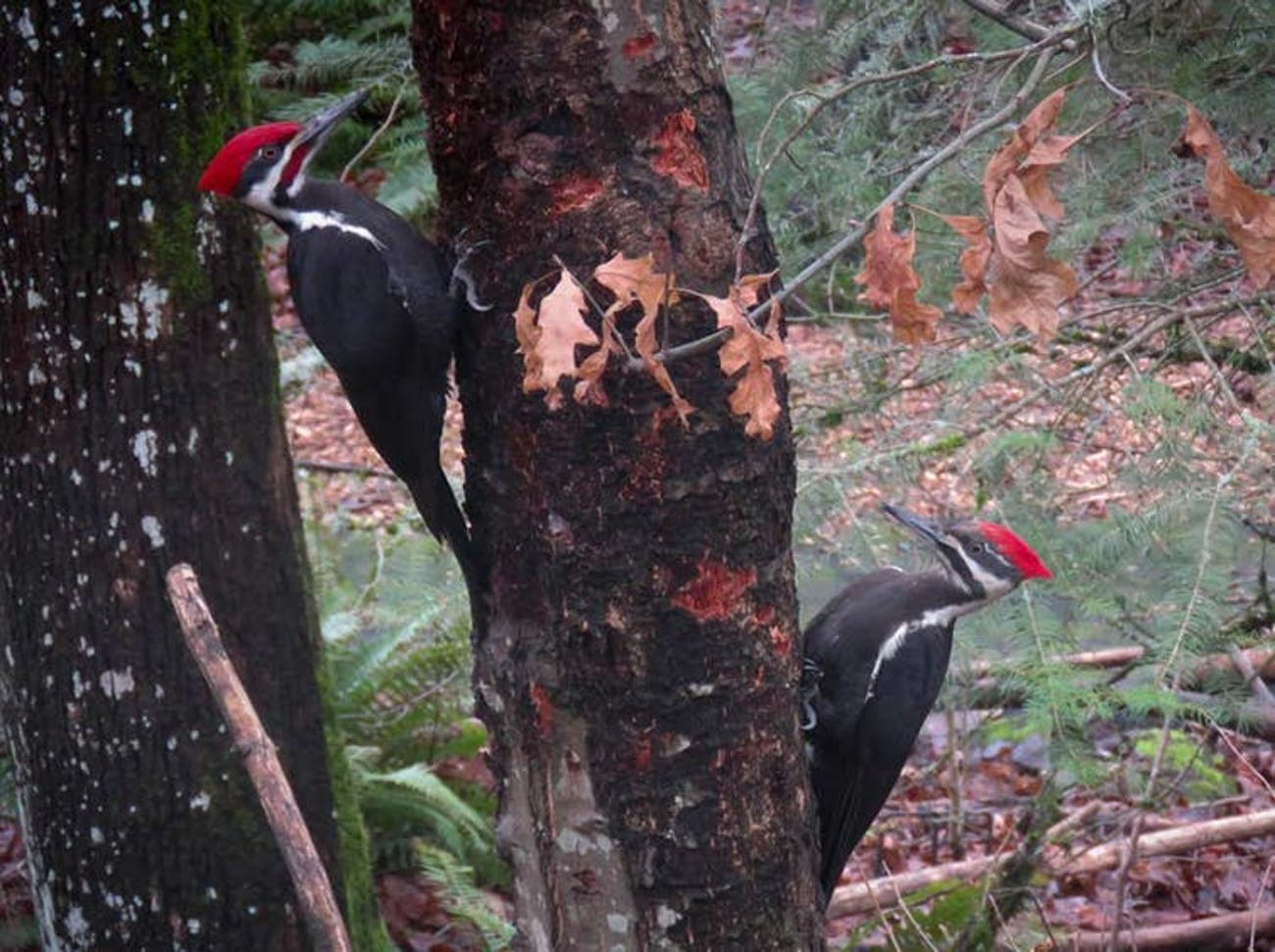Pileated woodpeckers excavate nests within snags, bringing life to charred forests in Oregon.