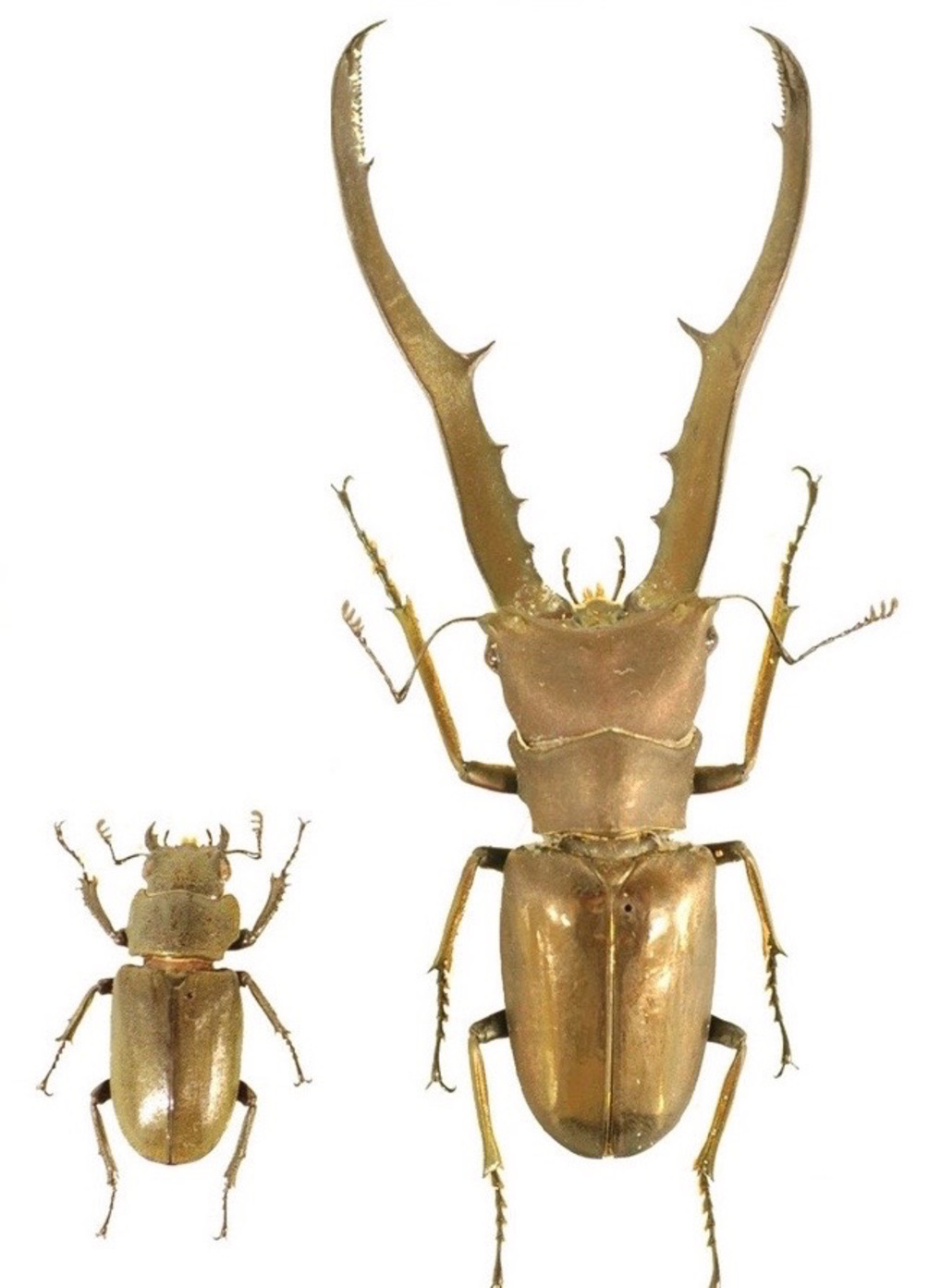 Thanks to the doublesex gene, in the stag beetle Cyclommatus metallifer, mandibles of males (right) are much larger than those of females (left).