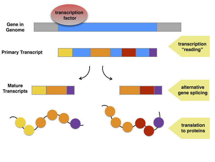 Depending on how the pieces are put together, one gene can result in a number of different proteins.