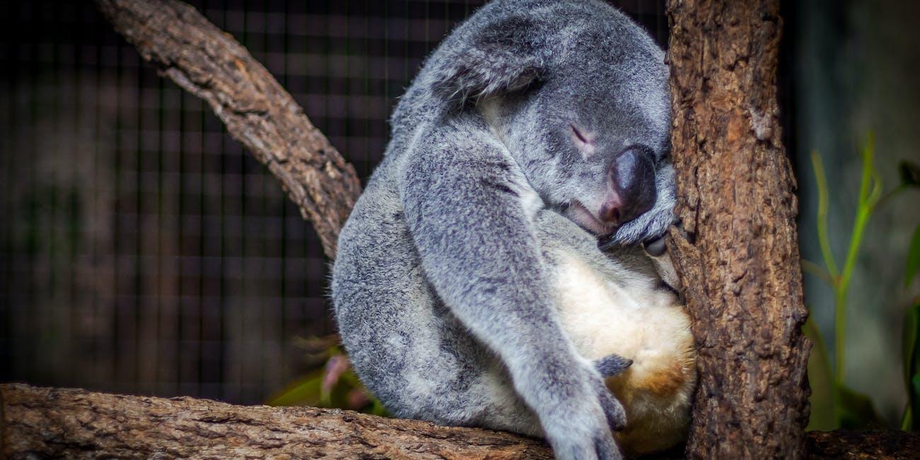 sleepy, koala