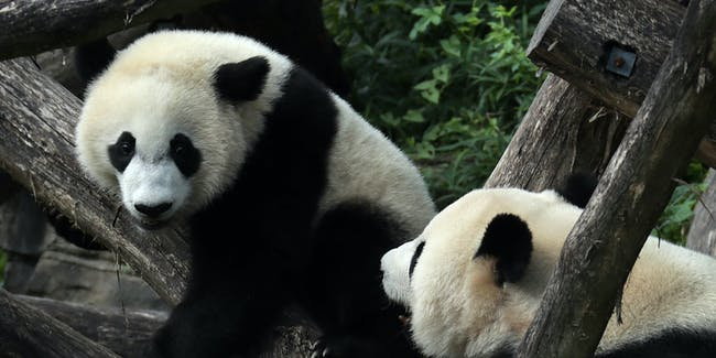 WASHINGTON, DC - AUGUST 22:  Giant panda cub Bei Bei (L) plays with his mother Mei Xiang (R) at the David M.  Rubenstein Family Giant Panda Habitat of the Smithsonian National Zoological Park August 22, 2016 in Washington, DC. The youngest giant panda cub turns one today.  (Photo by Alex Wong/Getty Images)