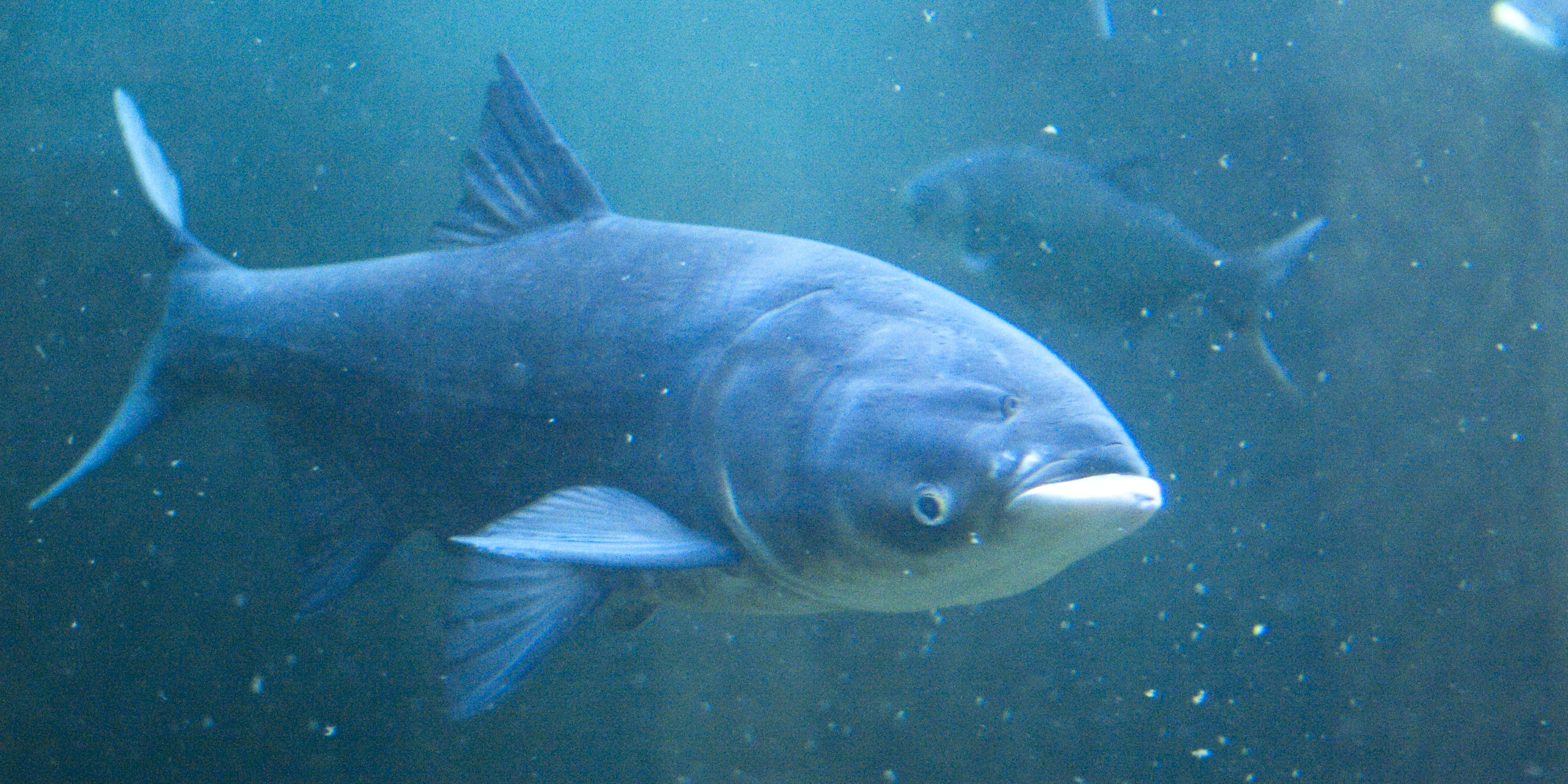 The Asian carp looks like its whole face is upside-down.