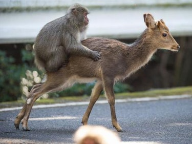Scientists Investigate Why This Monkey Is Trying to Screw Deer
