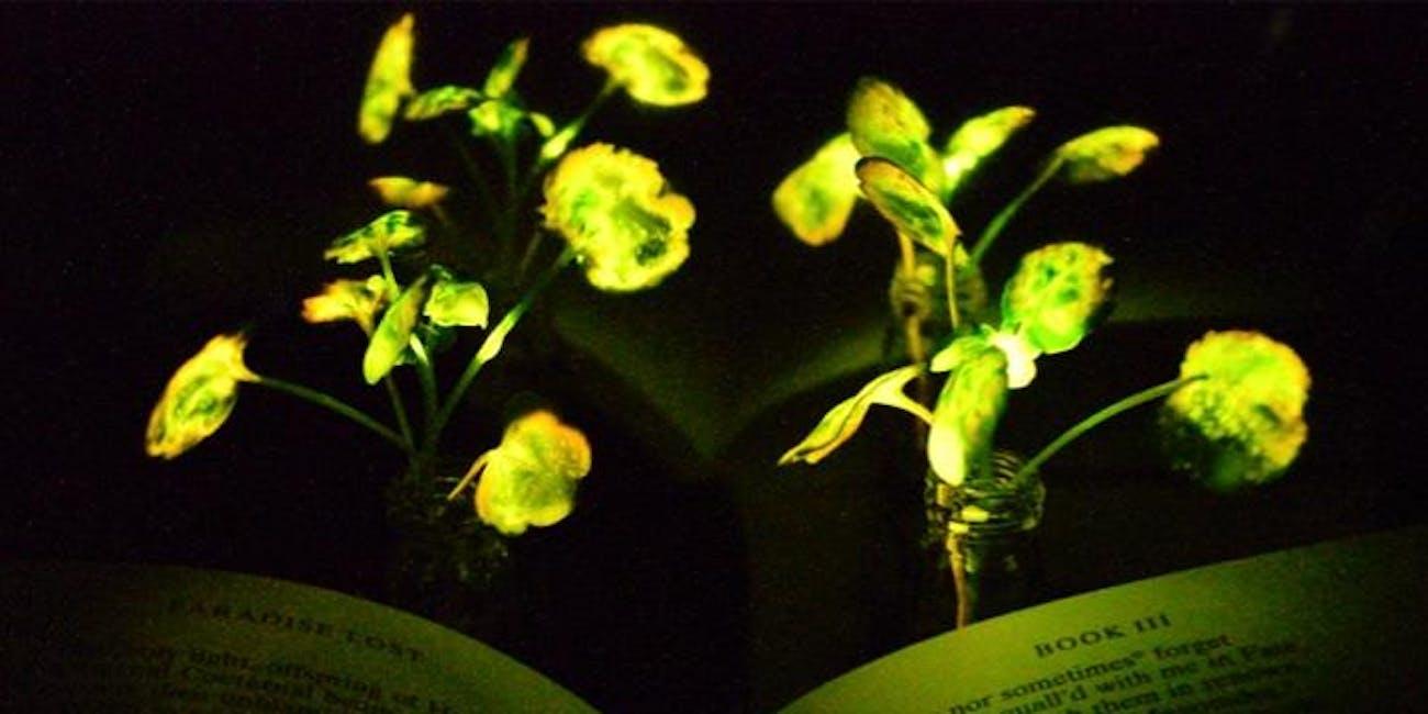 Glowing, Energy Saving, 'Avatar'-Like Plants Shine for 4