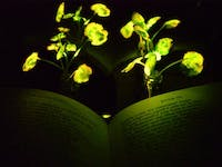 Scientists are infusing plants with the luminescence of fireflies.