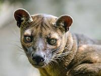 Fossa Madagascar