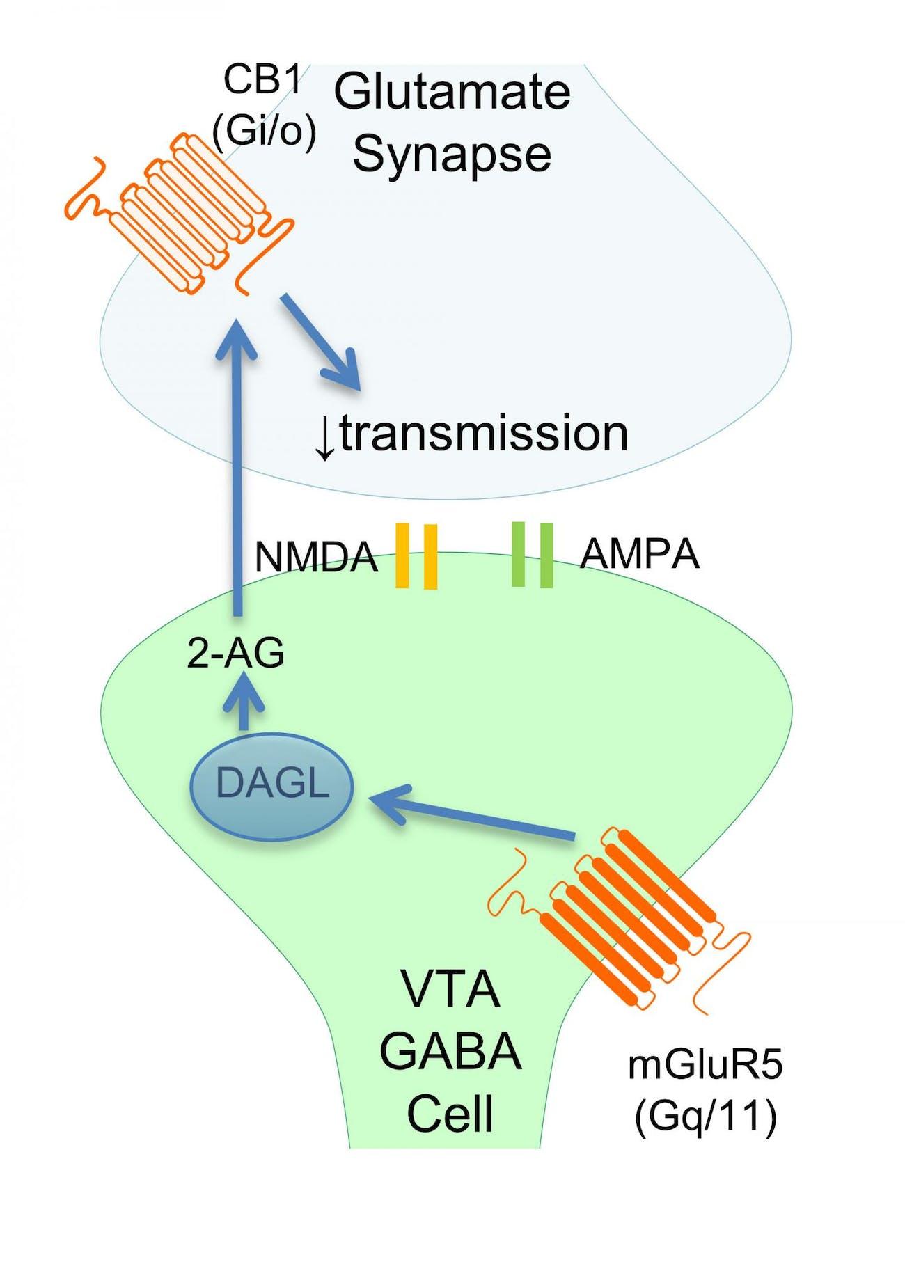 Adhd Drugs Increase Brain Glutamate >> Long Term Marijuana Use Changes Brain At The Cellular Level Say
