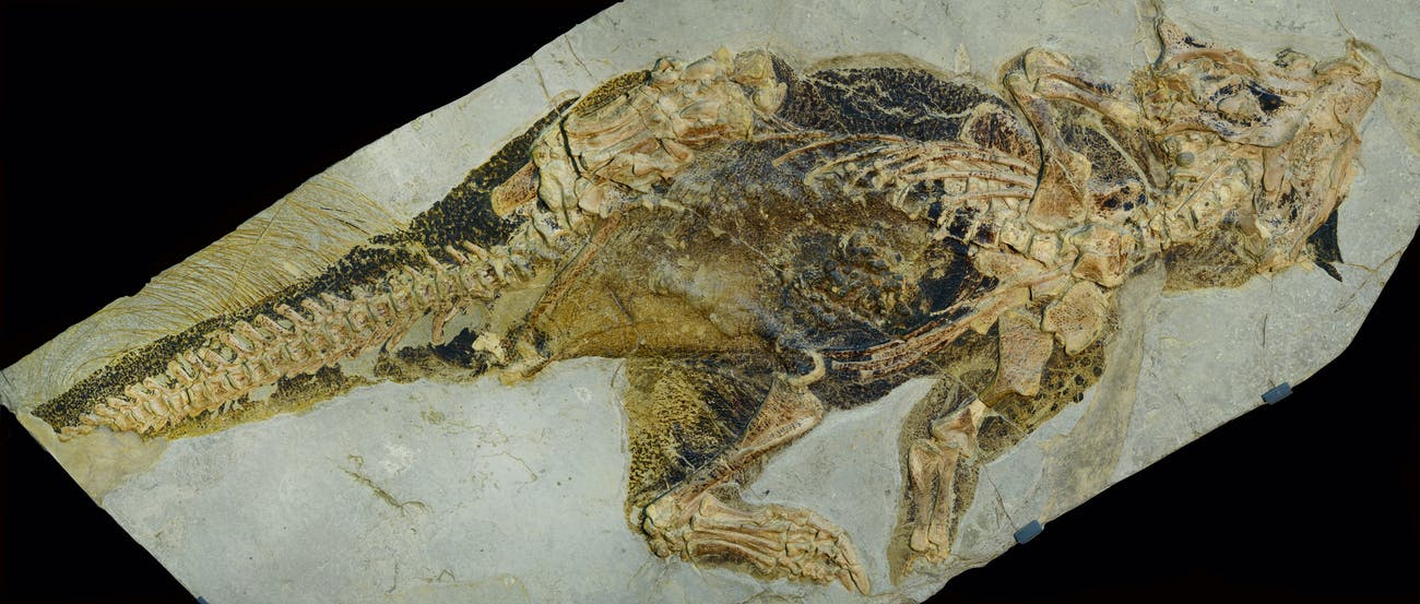 Well-preserved Psittacosaurus fossil shows evidence of skin pigmentation.