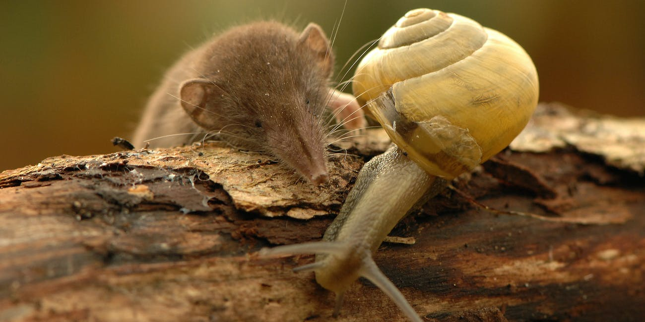 shrew and snail