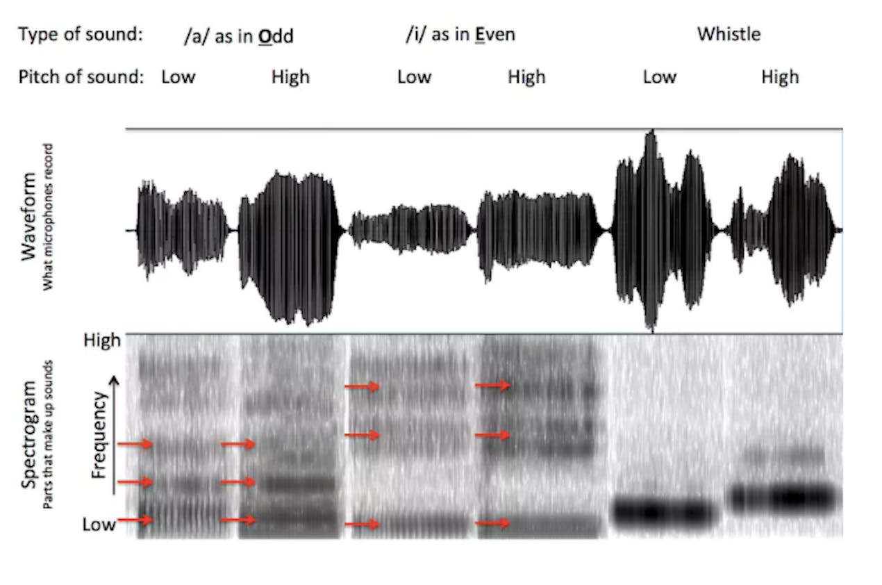 An analysis of singing and whistling. The top part of the figure shows the waveform of the sounds. The bottom part breaks the sound down into different frequencies. Dark parts mean that a certain frequency is strongly present and light parts mean it is absent. That's why the two vowels sound different. The acoustics of whistling are much simpler.