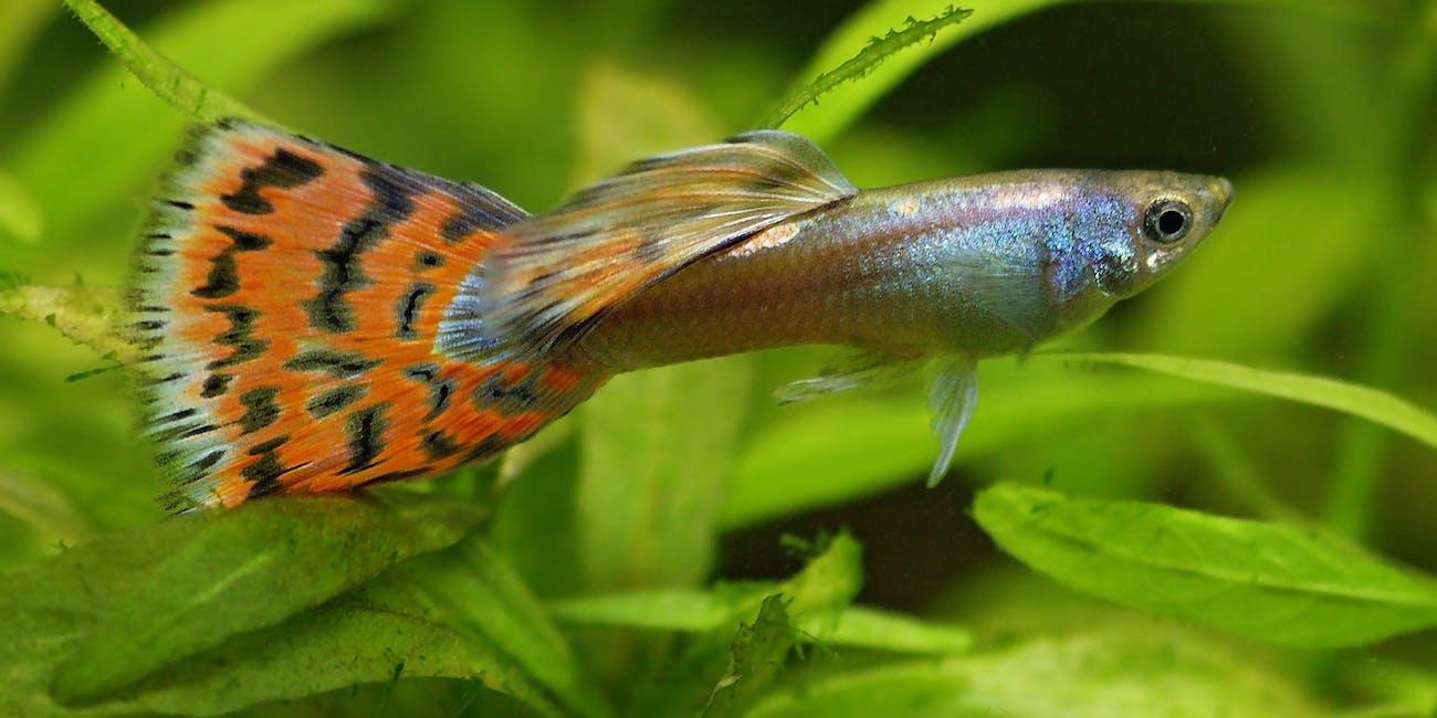 Guppy / Millionenfisch (Poecilia reticulata) ♂