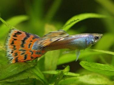 Scientists Say Smarter Female Fish Prefer Prettier Male Fish