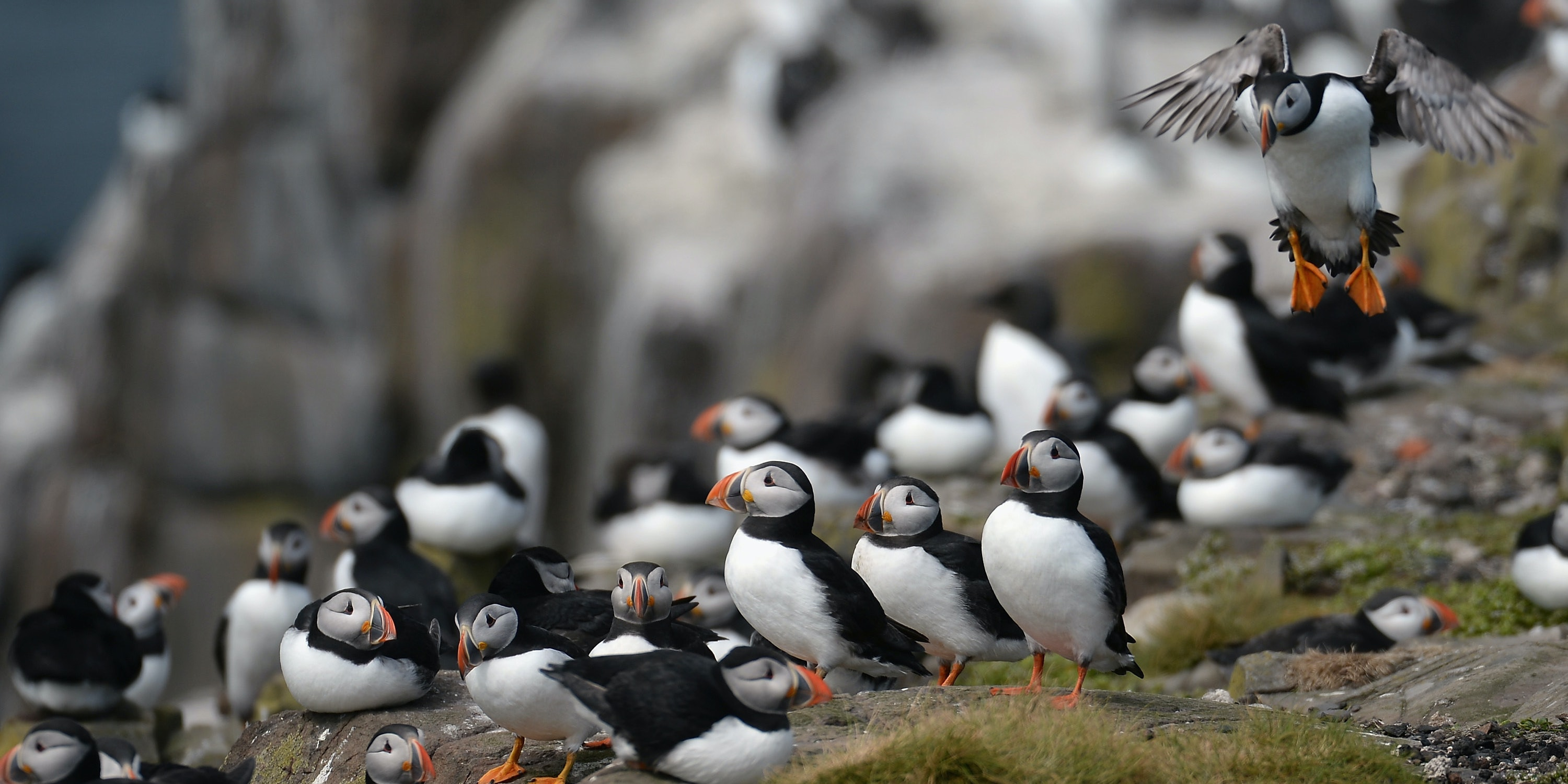 Puffins return to their summer breeding grounds on the Farne Islands as National Trust rangers carry out a Puffin census on May 16, 2013 in the Farne Islands, England. A census is carried out every five years with the last one in 2008 recording 36,500 pairs of puffins. The Farne Islands, offer good protection for the birds to nest, providing excellent sources of food, and few ground predators, despite this rangers fear that the extreme winter could impact on breeding numbers.