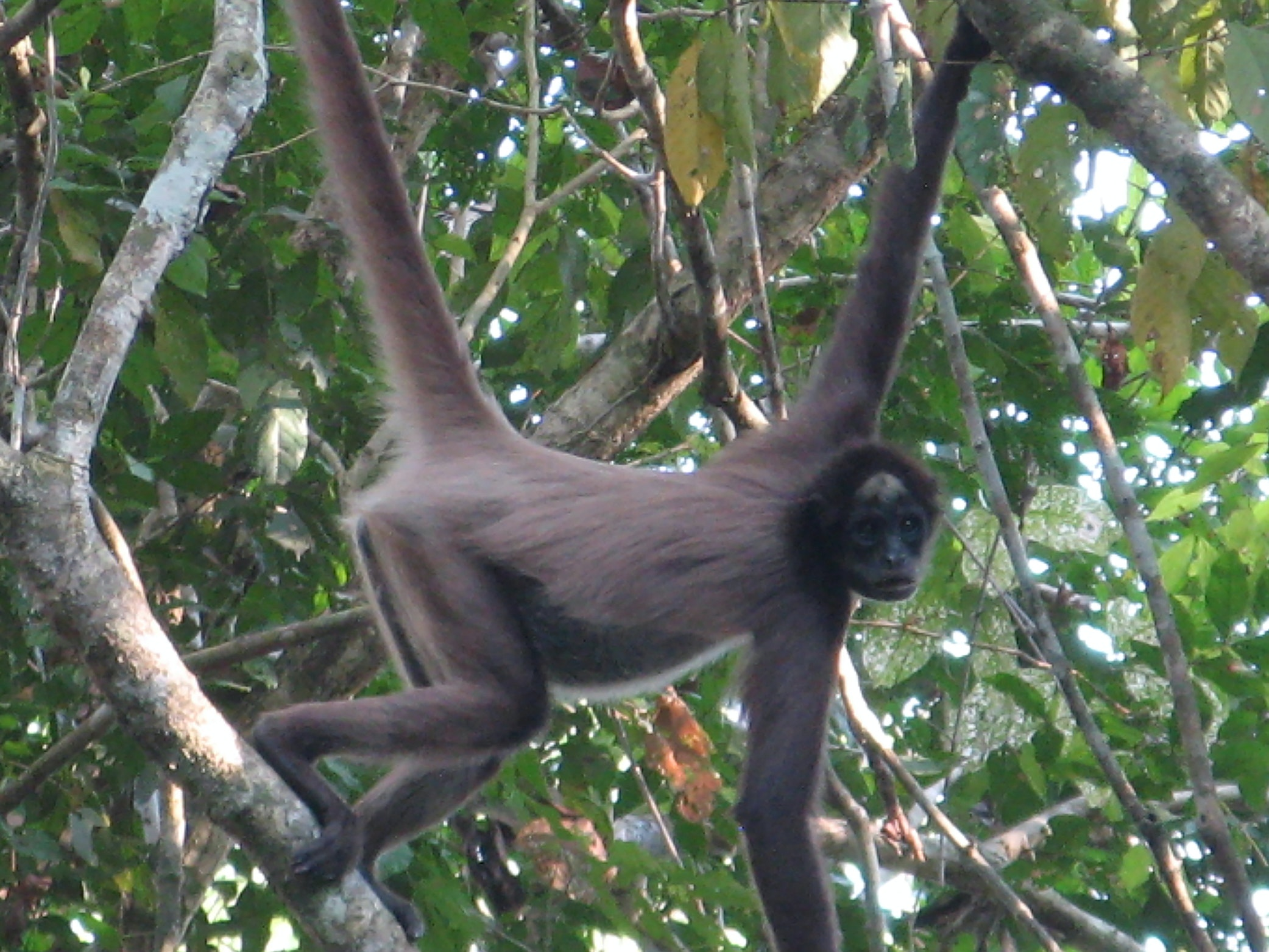 Variegated spider monkeys (Ateles hybridus) in Colombia.