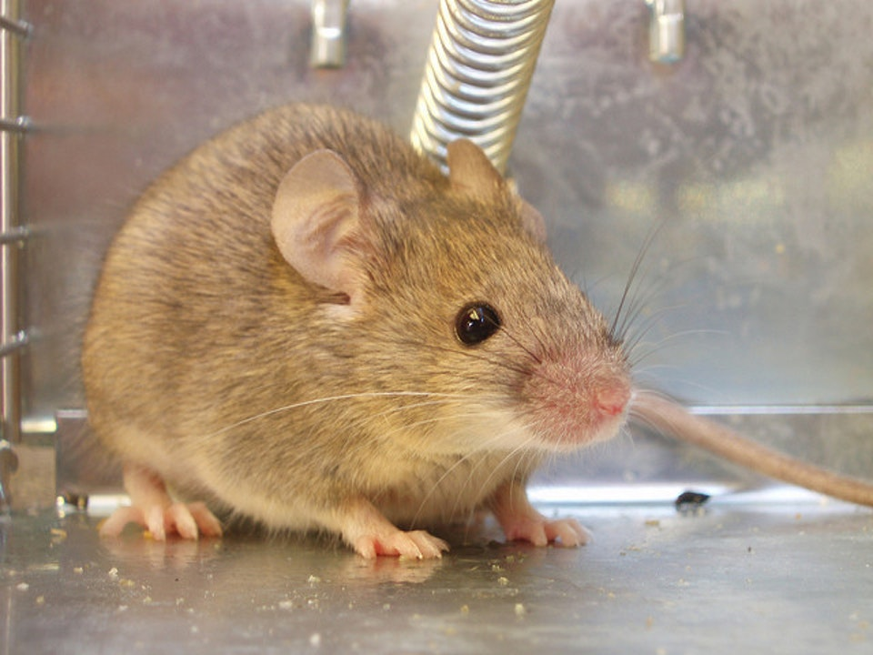 Being drunk made the emotional fears of mice worse.
