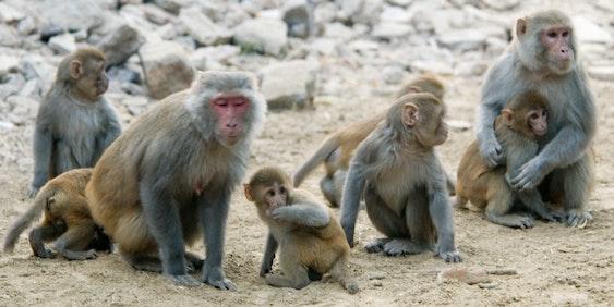rhesus macaque Macaca mulatta