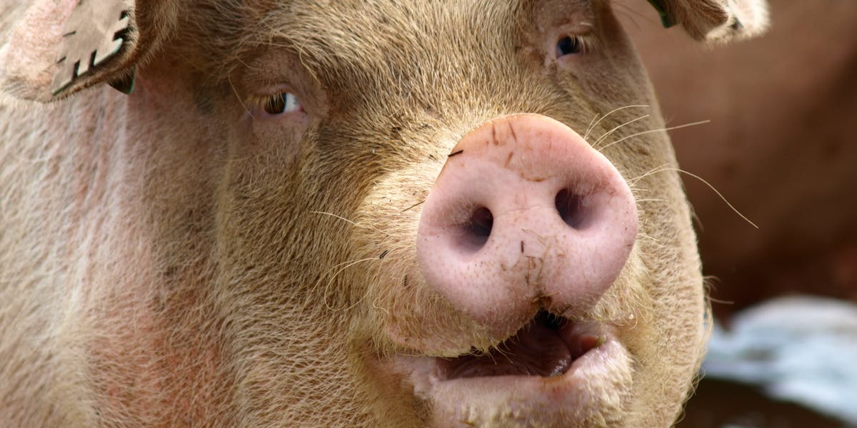 Low-fat bacon? Chinese scientists create genetically ... |Really Fat Pigs