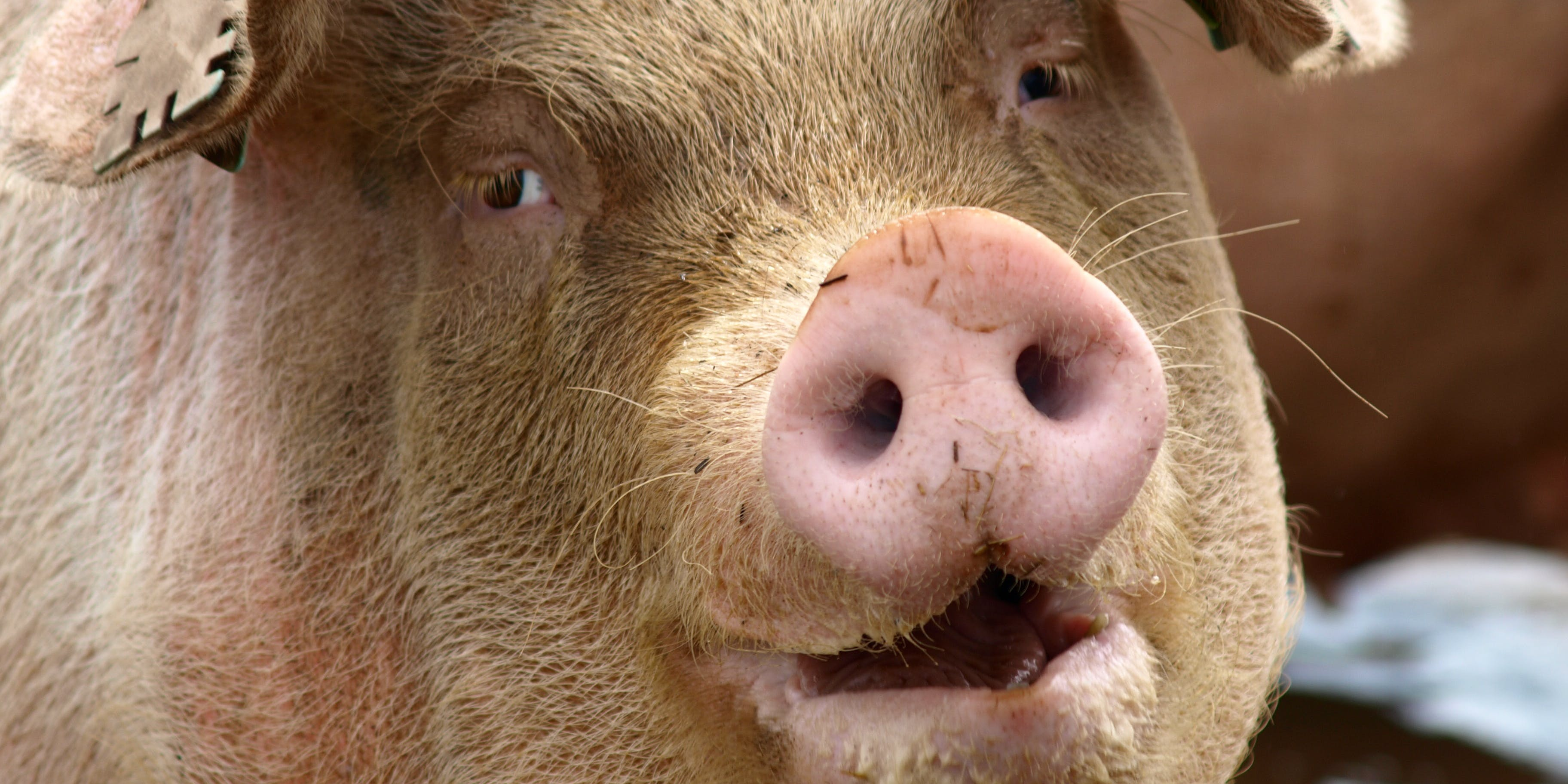 Nationalism and Biology Combine to Create Weird, Fat Pigs
