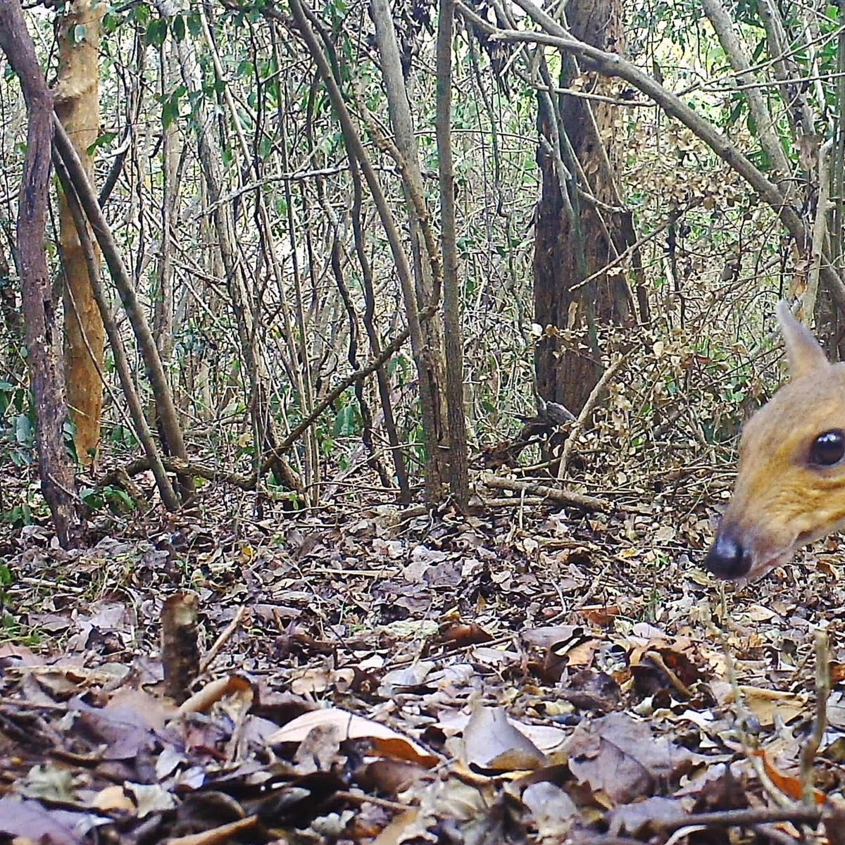 """Caught on camera: """"Lost"""" mouse-deer photographed in wild for first time"""