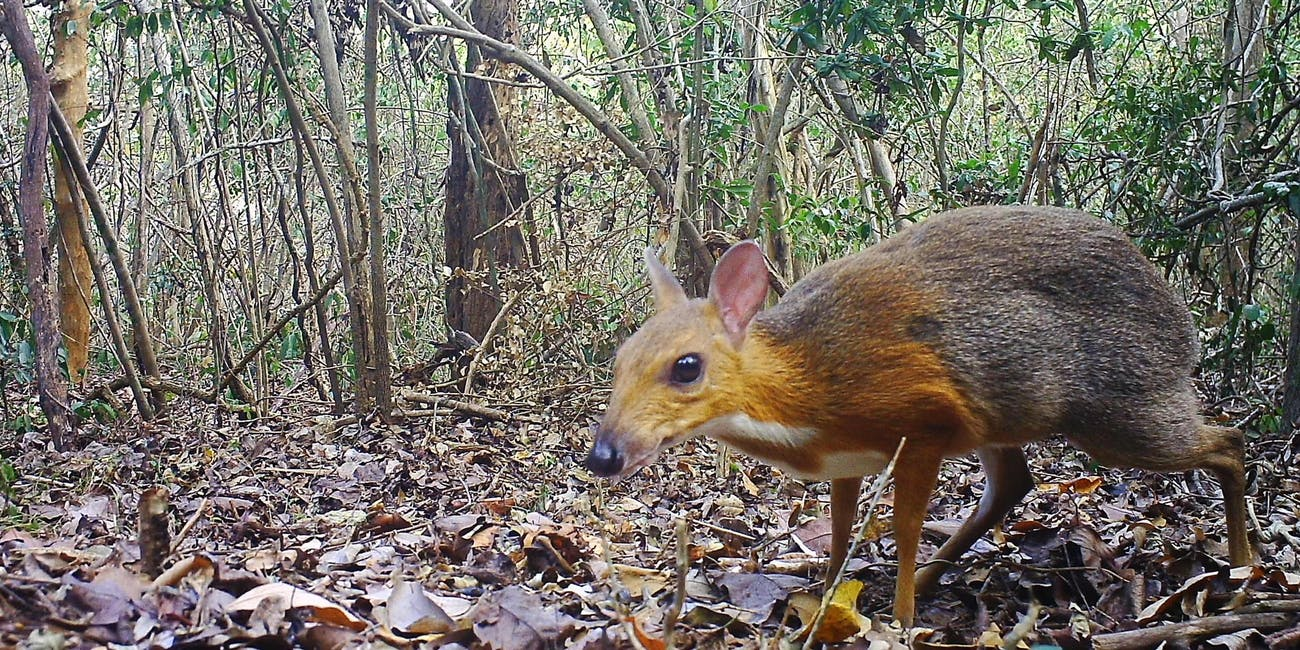 mouse-deer, silver-backed Chevrotain