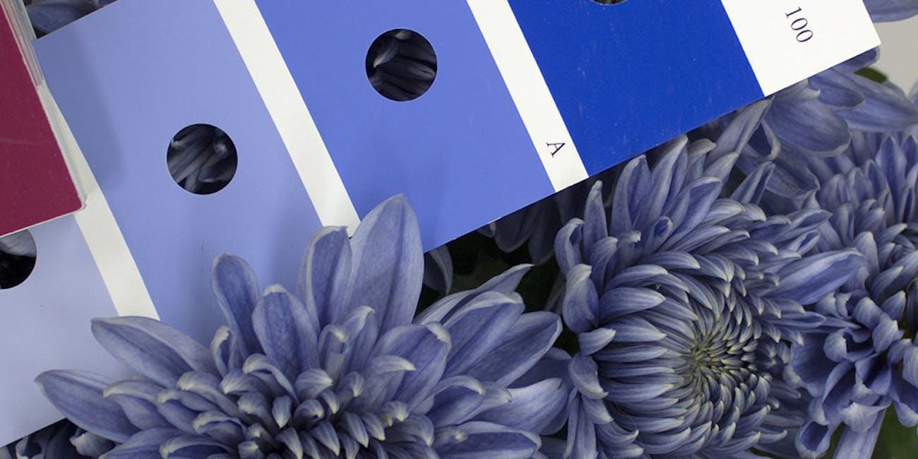 blue chrysanthemum true blue flower color swatch