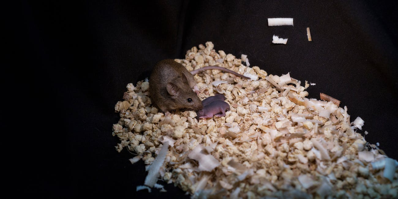 This mouse, born from the genetic material of two female parents, produced healthy offspring of its own.