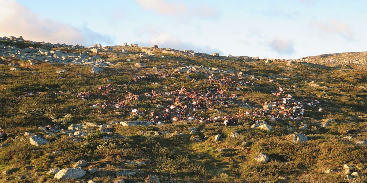 Dead reindeer lay on a Norwegian hillside in the aftermath of a lightning storm.
