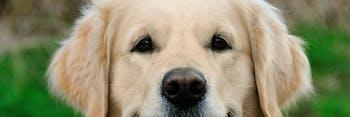 golden_retriever_dog