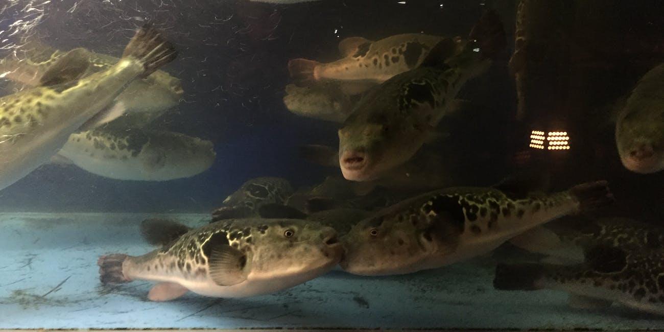 Fugu in a fish tank in Kyoto, Japan