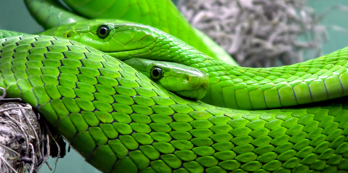 how lizards evolved into snakes