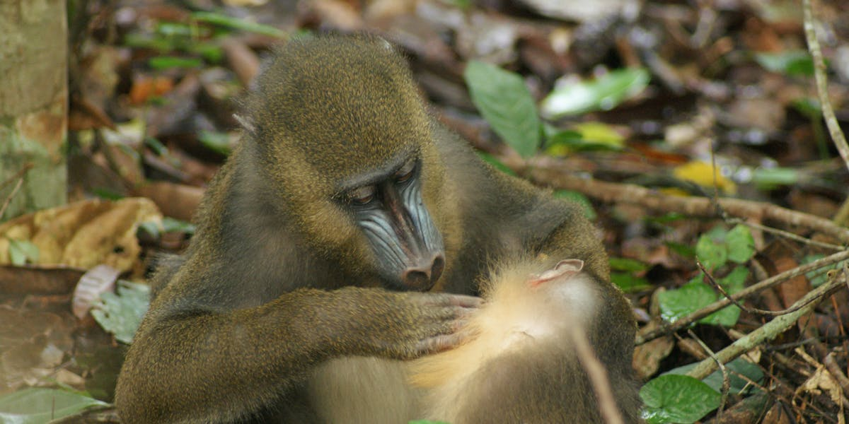 mandrill poop fecal matter grooming